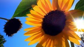Il girasole contro cielo blu ed il sole splende da parte a parte video d archivio