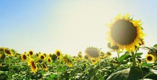 Il girasole fiorisce al sole Immagini Stock Libere da Diritti