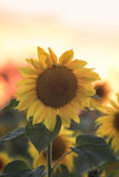 Il girasole giallo luminoso si sviluppa in un campo nel villaggio Fotografie Stock