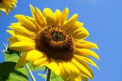 Il girasole luminoso sotto il sole fotografie stock libere da diritti