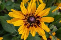 Il girasole o il Helianthus è giallo luminoso fotografia stock