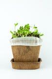 Il girasole organico germoglia nel fondo bianco Fotografia Stock