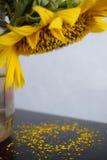 Il girasole in un barattolo perde il suo polline Immagini Stock Libere da Diritti