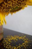 Il girasole in un barattolo perde il suo polline Fotografia Stock