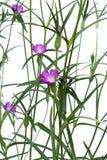 Il githago del Agrostemma è un fiore rosa snello Immagini Stock