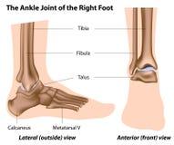 Il giunto di caviglia illustrazione vettoriale