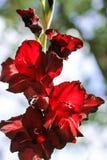 Il gladiolo rosso si sviluppa in primavera sotto il cielo aperto su un fondo verde, fotografia stock