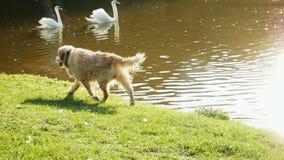 Il golden retriever bagnato felice cammina lungo lo stagno della montagna archivi video