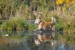 Il golden retriever che esegue un'acqua recupera immagine stock libera da diritti