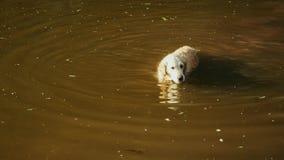 Il golden retriever felice nuota in stagno sporco Labrador bagnato cammina nell'acqua archivi video