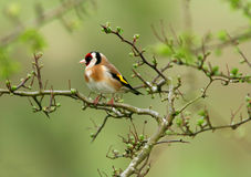 Il Goldfinch Fotografie Stock