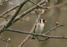 Il Goldfinch Fotografia Stock