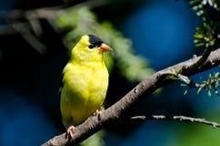 Il Goldfinch americano maschio si è appollaiato in un albero Immagini Stock