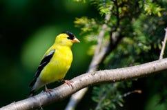 Il Goldfinch americano maschio si è appollaiato in un albero Fotografia Stock