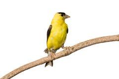 Il goldfinch americano profila le sue piume gialle Fotografie Stock