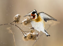 Il Goldfinch europeo passa velocemente sopra il burdock Immagini Stock Libere da Diritti
