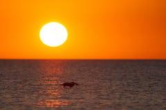 Il golf del Messico con un tramonto drammatico e un pellicano in volo come visto per da Myers Beach, Florida, U.S.A. fotografia stock