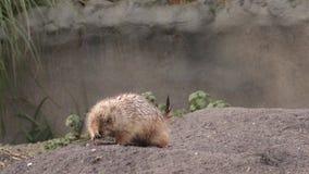 Il gopher del citellus dello spermophilus, scoiattolo a terra stock footage