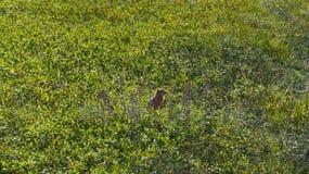 Il gopher sta sulle gambe posteriori in erba immagini stock