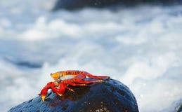 Il granchio di roccia rosso scurries sopra la spuma Fotografia Stock Libera da Diritti
