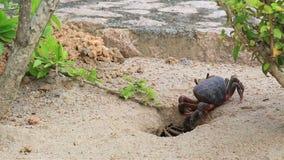 Il granchio di terra striscia nel suo foro archivi video