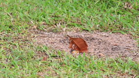 Il granchio di terra tira una foglia in suo foro video d archivio
