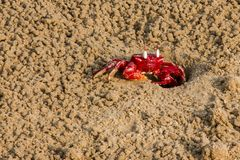 Il granchio rosso in è habitat immagine stock libera da diritti