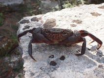Il granchio si siede su una roccia Fotografie Stock