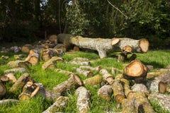 Il grande albero abbattuto con il taglio collega l'erba Immagine Stock