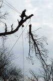 Il grande albero cattura giù Fotografie Stock