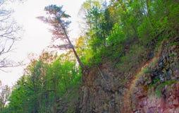 Il grande albero che appende sull'orlo della scogliera, bagna la roccia ed il bordo tiene le radici di un albero Fotografia Stock Libera da Diritti