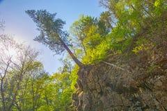 Il grande albero che appende sull'orlo della scogliera, bagna la roccia ed il bordo tiene le radici di un albero Fotografia Stock