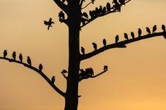 Il grande albero con gli uccelli profila il fondo rosso del cielo dell'alba a Uda Fotografie Stock Libere da Diritti