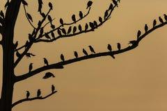 Il grande albero con gli uccelli profila il fondo rosso del cielo dell'alba a Uda Immagine Stock