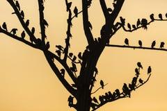 Il grande albero con gli uccelli profila il fondo rosso del cielo dell'alba a Uda Immagine Stock Libera da Diritti