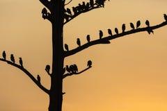 Il grande albero con gli uccelli profila il fondo rosso del cielo dell'alba a Uda Fotografia Stock Libera da Diritti