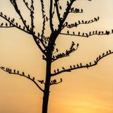 Il grande albero con gli uccelli profila il fondo rosso del cielo dell'alba a Uda Immagini Stock