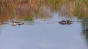 Il grande alligatore apre la sua bocca archivi video