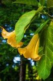 Il grande Brugmansia giallo ha chiamato Angels Trumpets o i fiori della datura fotografia stock libera da diritti