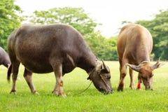 Il grande bufalo due mangia l'erba verde Fotografie Stock Libere da Diritti