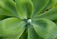 Il grande cactus lascia il primo piano Fotografie Stock Libere da Diritti