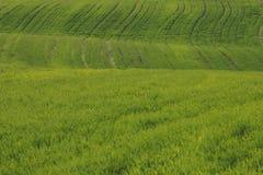 Il grande campo è coltivare con i raccolti verdi in aumento nel agricultur Fotografie Stock