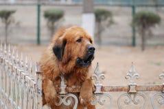Il grande cane domestico Fotografie Stock Libere da Diritti