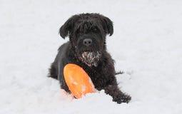 Il grande cane nero dello schnauzer sta esaminando la macchina fotografica Fotografia Stock