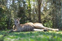Il grande canguro si riposa, ha un resto su erba verde in parco immagini stock