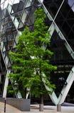 Il grande cetriolino sull'albero Fotografia Stock Libera da Diritti