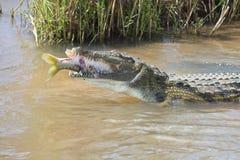 Il grande coccodrillo di Nilo mangia un pesce sulla sponda del fiume Fotografie Stock Libere da Diritti
