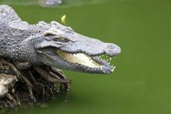 Il grande coccodrillo si trova nel fiume della Tailandia Mandibole aperte enormi di un alligatore, coccodrillo pronto a colpire Fotografia Stock