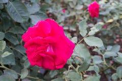 Il grande colore rosso è aumentato Fotografia Stock