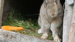 Il grande coniglio grigio divertente guarda intorno in una gabbia aperta vicino alla grande carota Concetto di Pasqua stock footage